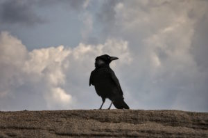 crow-with-cloudy-sky