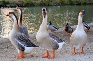 a-gaggle-of-geese