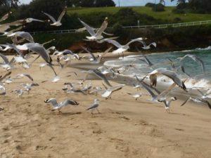 seagulls-in-flight