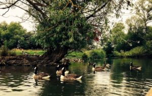 ducks-on-the-river