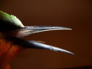 large-beaked-bird