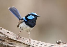 fairy-wren-or-blue-wren