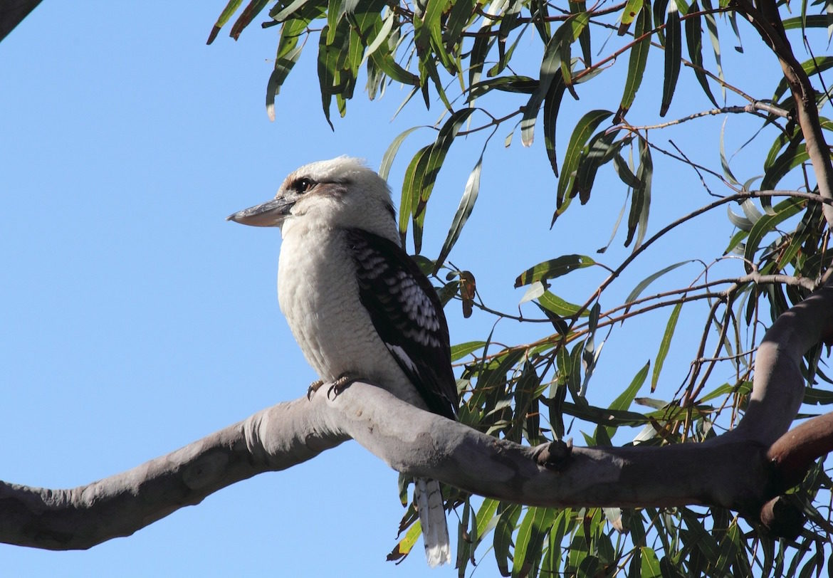 australian-kookaburra-in-tree