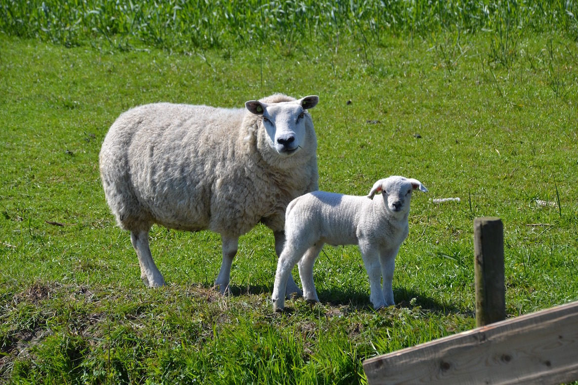mother-and-lamb