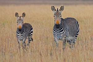 zebra-mother-and-baby