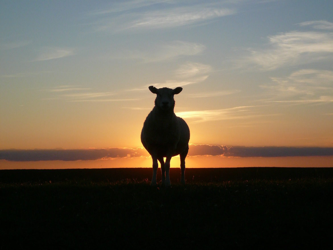 sunset-goat