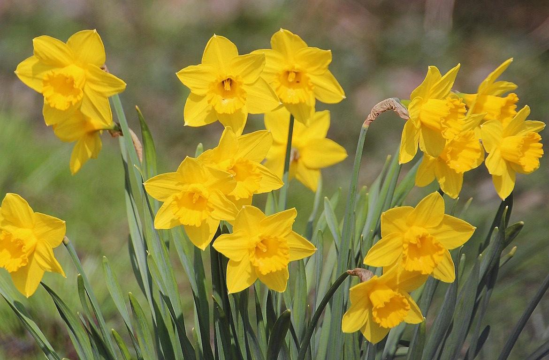 narcissus-daffodils