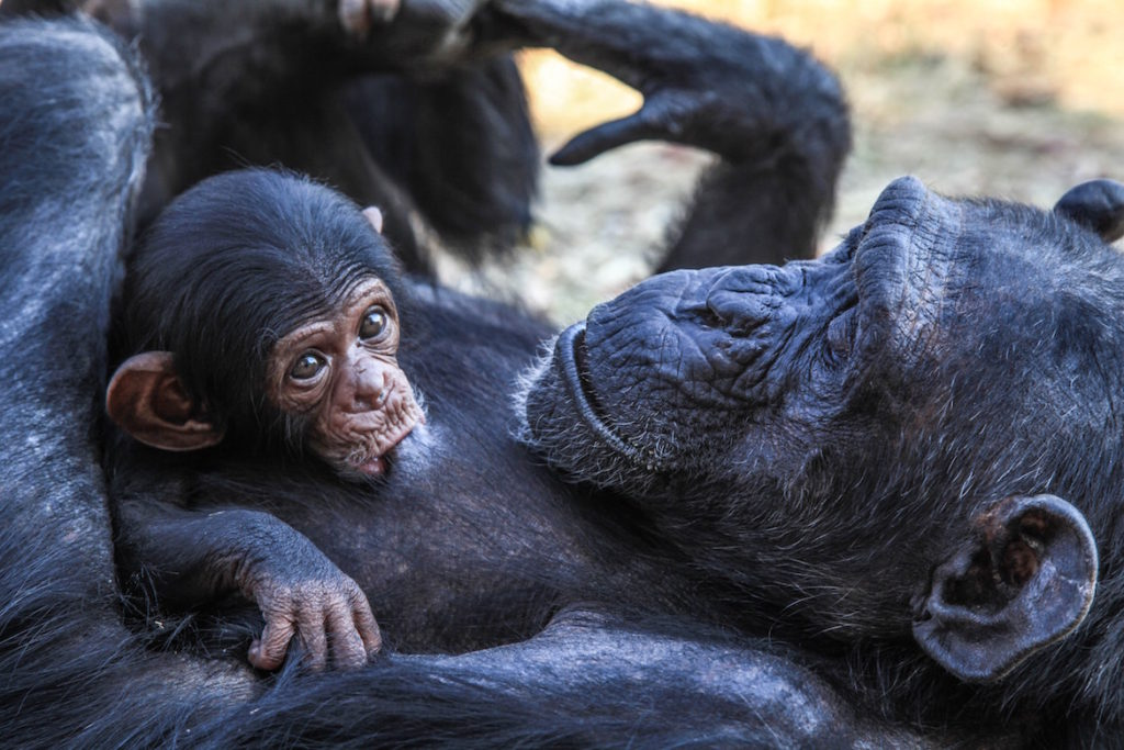baby-chimp-with-mother