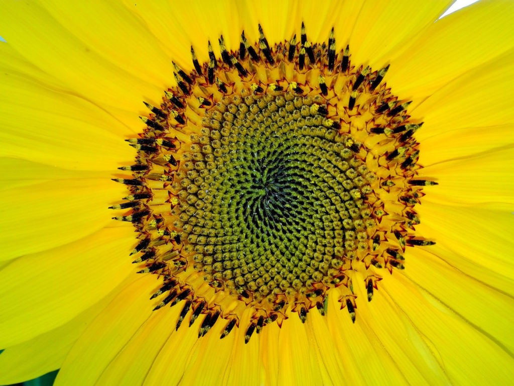 fibonacci-sunflower-centre
