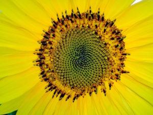 fibonacci-sunflower-centre
