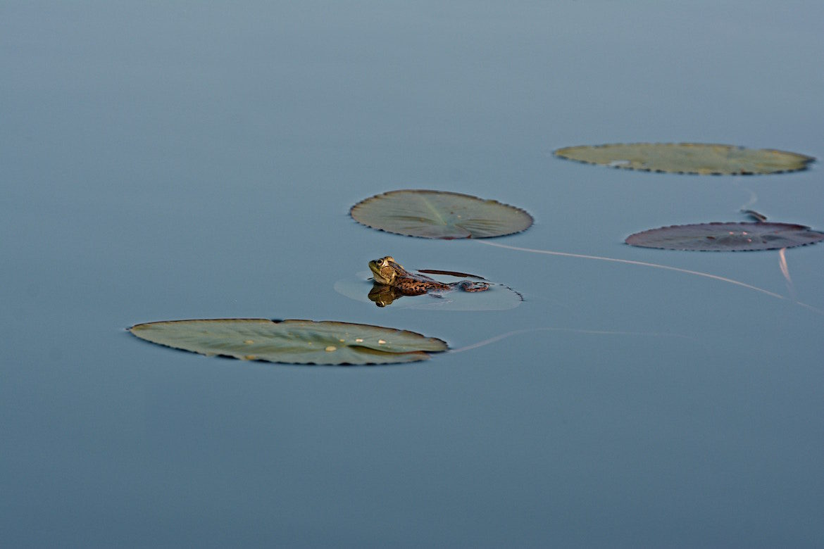 frog-in-lily-pond