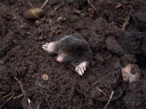 mole-dirt-digging