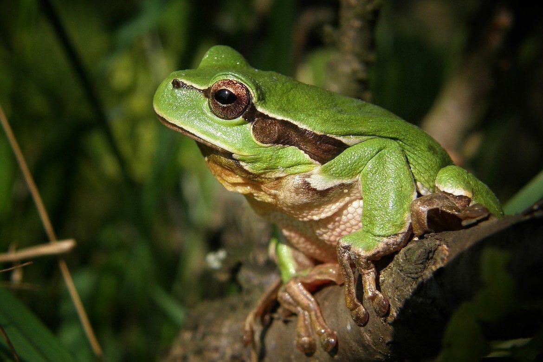 Gree ntrree frog