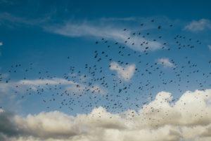 flock-of-crows-clouds