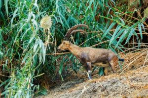 Nubian ibex in Ein Gedi Reserve, Israel