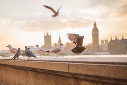 birds-london-parliament-256