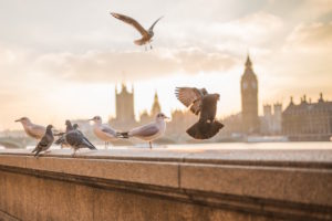 birds-london-parliament
