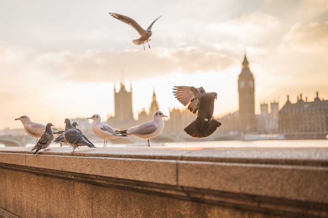 birds-london-parliament