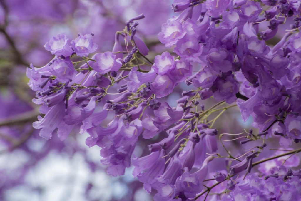 jacaranda-blossoms  These might also be the trees referred ti as 'flame trees' in the song.