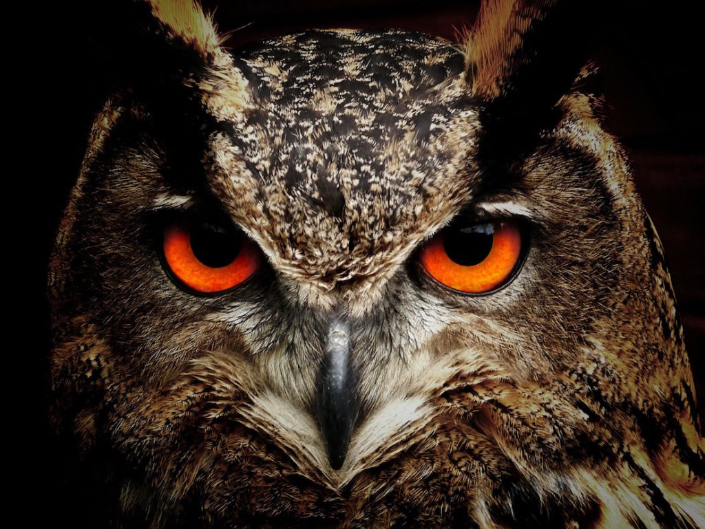 owl-brown-orange-eyes