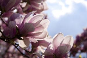magnolia-tree-serendipity
