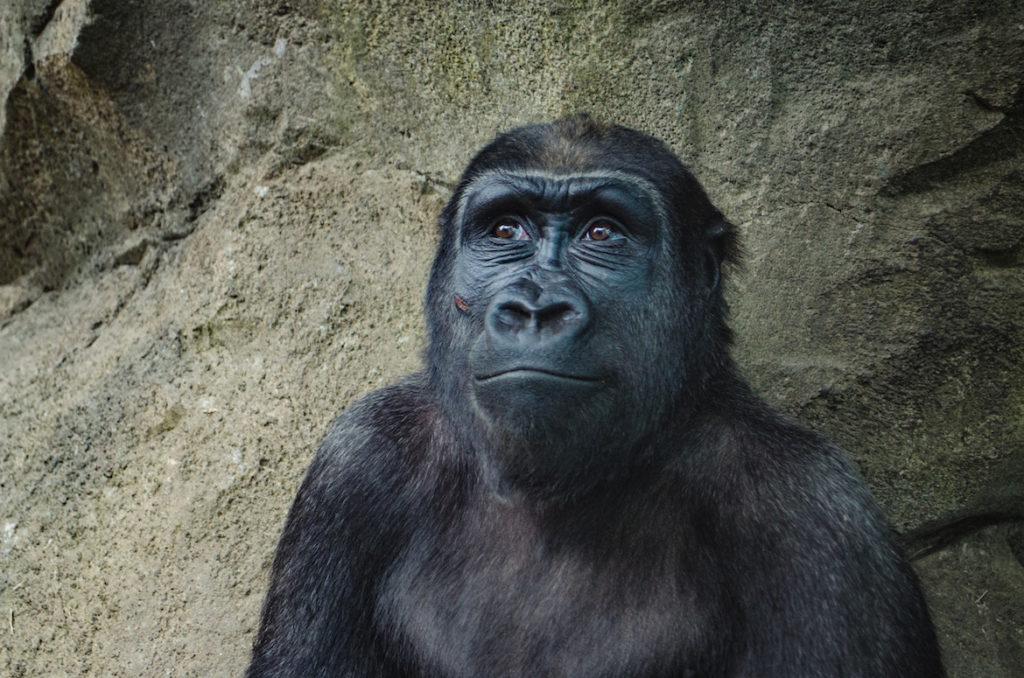 ape-in-zoo