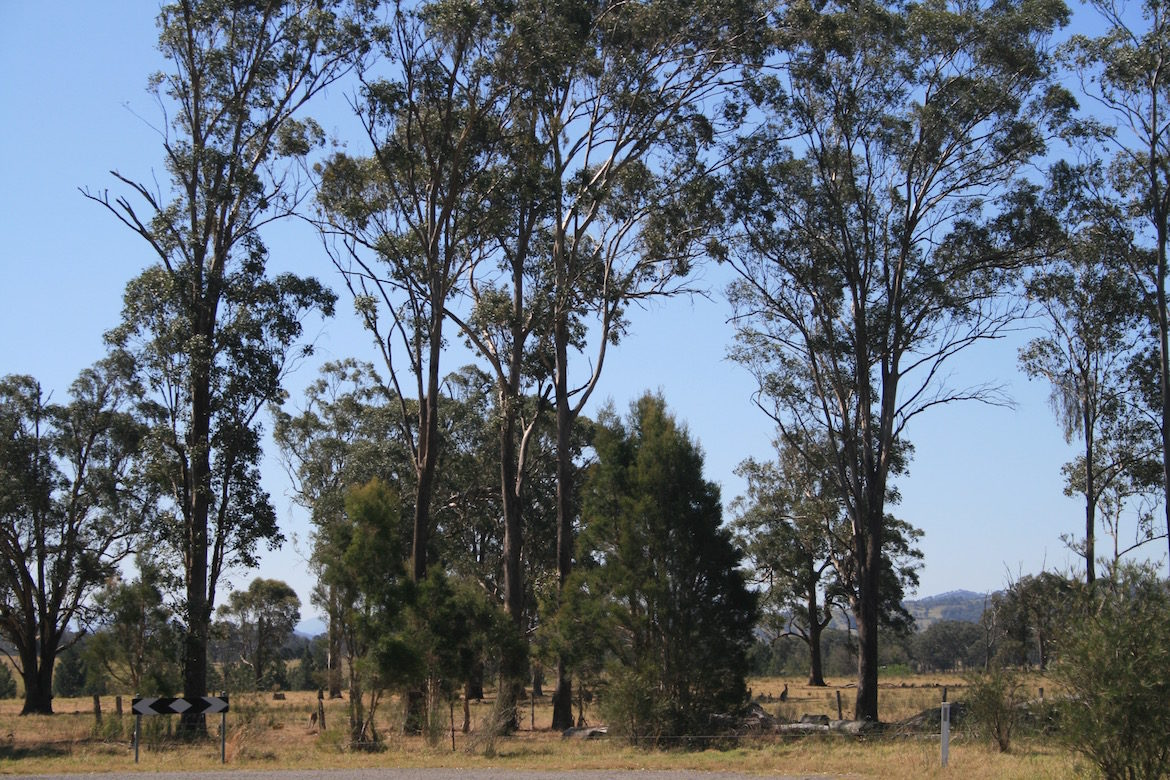 kangaroos-and-gum-trees