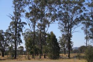 kangaroos-and-gum-trees
