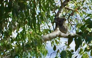 Healthy Koalas