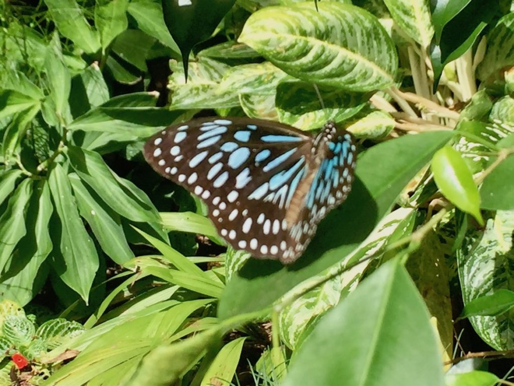 blue-tiger-butterfly