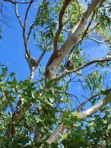 koala-and-baby