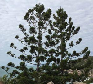 Hoop Pines Magetic Island