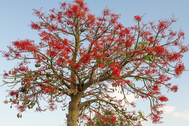 Illawarra-flame-tree