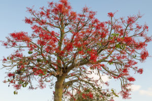 Illawarra-flame-tree